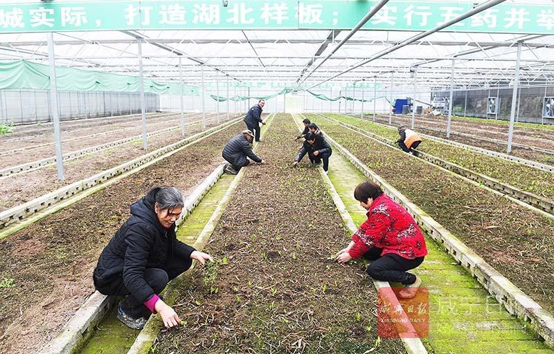 图文:通城中草药种植业带富一方群众