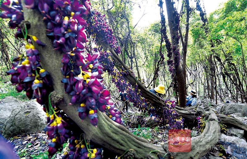 组图:紫藤幽境 禾雀花开