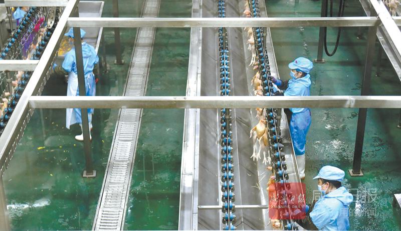 图文:温氏佳丰打造肉鸡产业集群