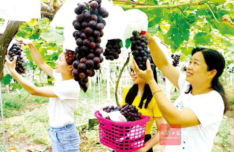 圖文:葡萄成熟迎客來