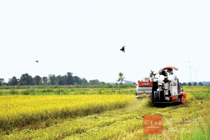 图文:赤壁早稻 增产丰收