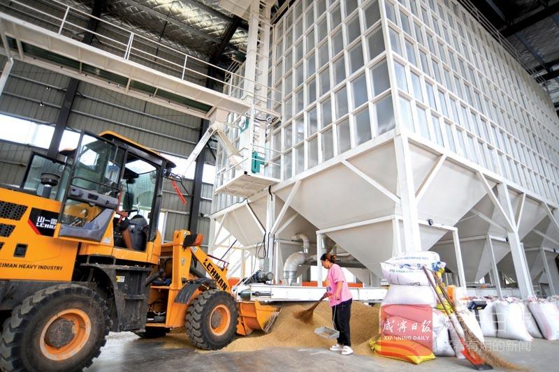 圖文:烘干早稻 保質增價