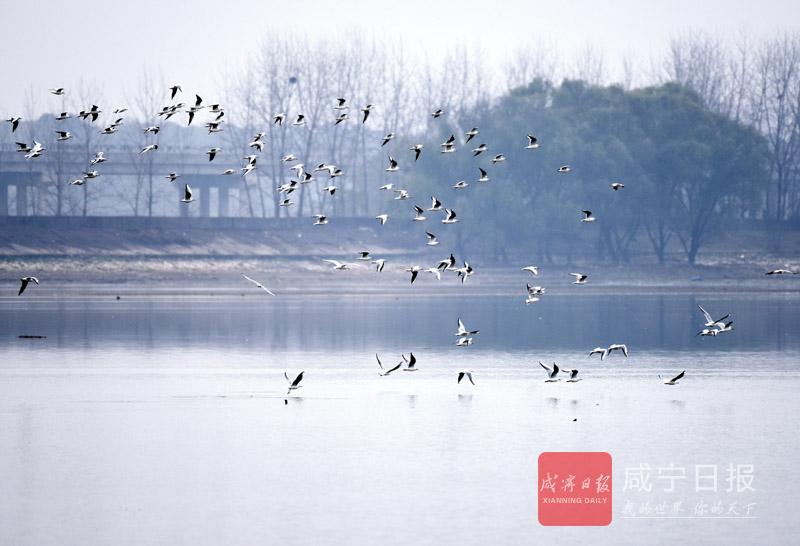 咸宁日报全媒体记者 马丽 通讯员 吴翔    冬天,草木凋零,却给了湿地另一种美。第22个世界湿地日之际,我们走进向阳湖湿地公园,聆听大自然的声音。   向阳湖湿地公园,植被丰富,湿地环境好,每年冬天都有一批候鸟光临。他们在湖中央的浅滩上,或栖息,或嬉闹,或飞旋上空,美妙得让时间仿佛停留了。   湖岸边,随风摇荡的柳条和芦苇,仿佛向众人展示最美的舞姿。风停时,整个湿地一片宁静,安然。      湿地管理处相关工作人员说,湿地是城市之肾,他们以保护和恢复为原则,用心呵护这片湿地。未来,向阳湖湿地公