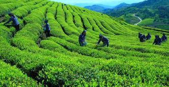 【推动高质量发展调研行·赤壁篇④】赤壁:千年茶业迸发新活力