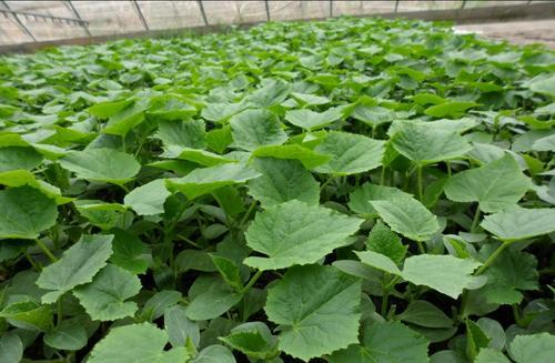 咸安区农业农村局免费发放蔬菜秧苗